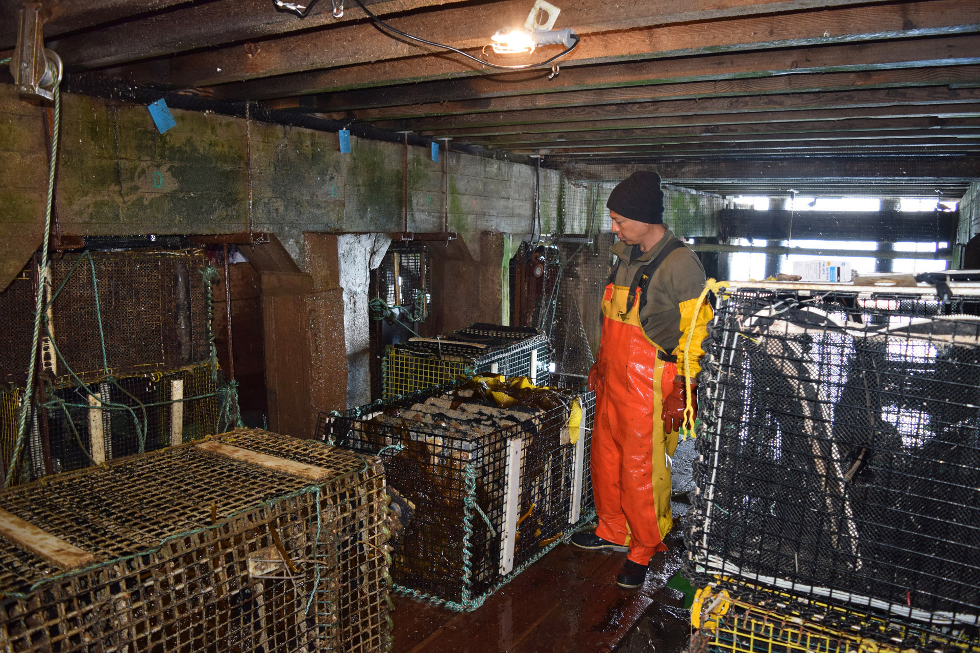 The sub-pier abalone farm at Monterey Abalone Company uses a system of ropes and pulleys to move the stacked, mollusk-filled cages in and out of the water.