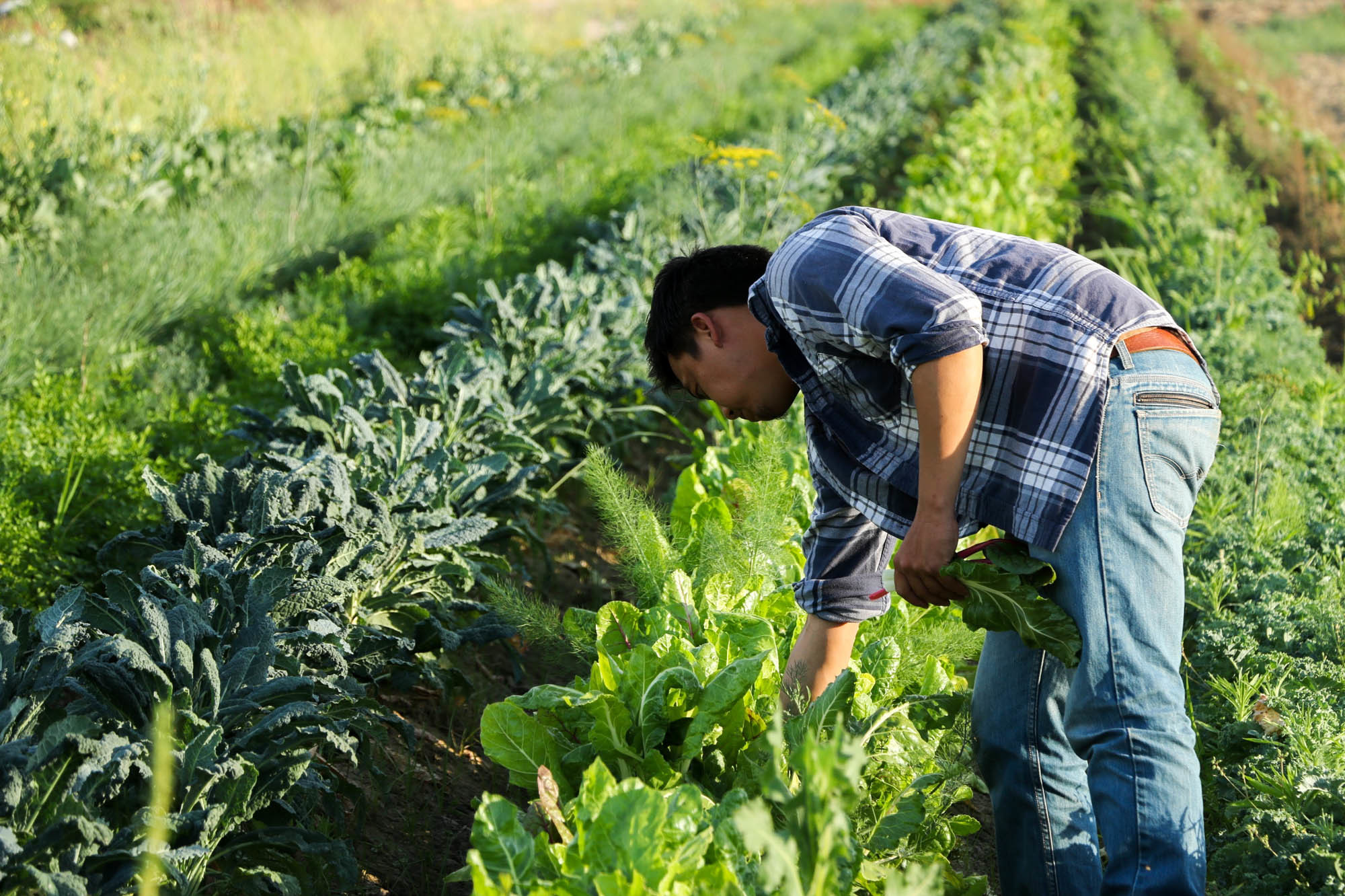 A farmer checks on produce at Padao Farms, a 15-acre plot run by the Yang family in Fresno, Calif., that specializes in Asian greens.A farmer checks on produce at Padao Farms, a 15-acre plot run by the Yang family in Fresno, Calif., that specializes in Asian greens.