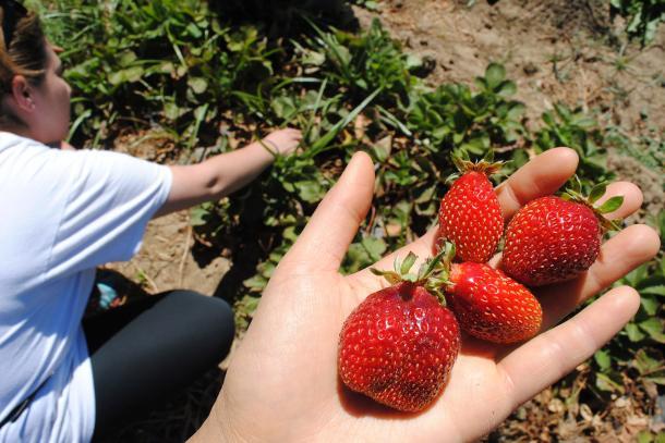Strawberry picking on CUESA farm tour.