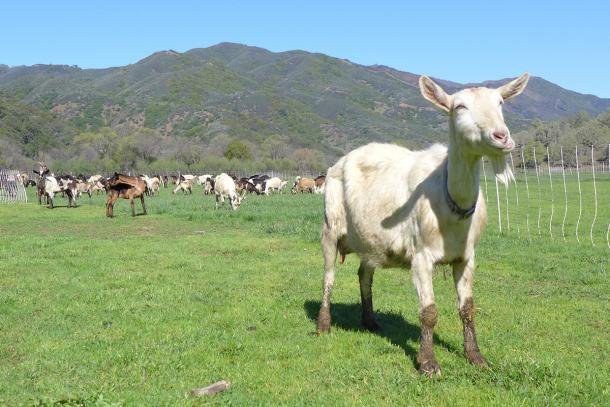 Goats grazing at Bodega & Yerba Santa Goat Cheese