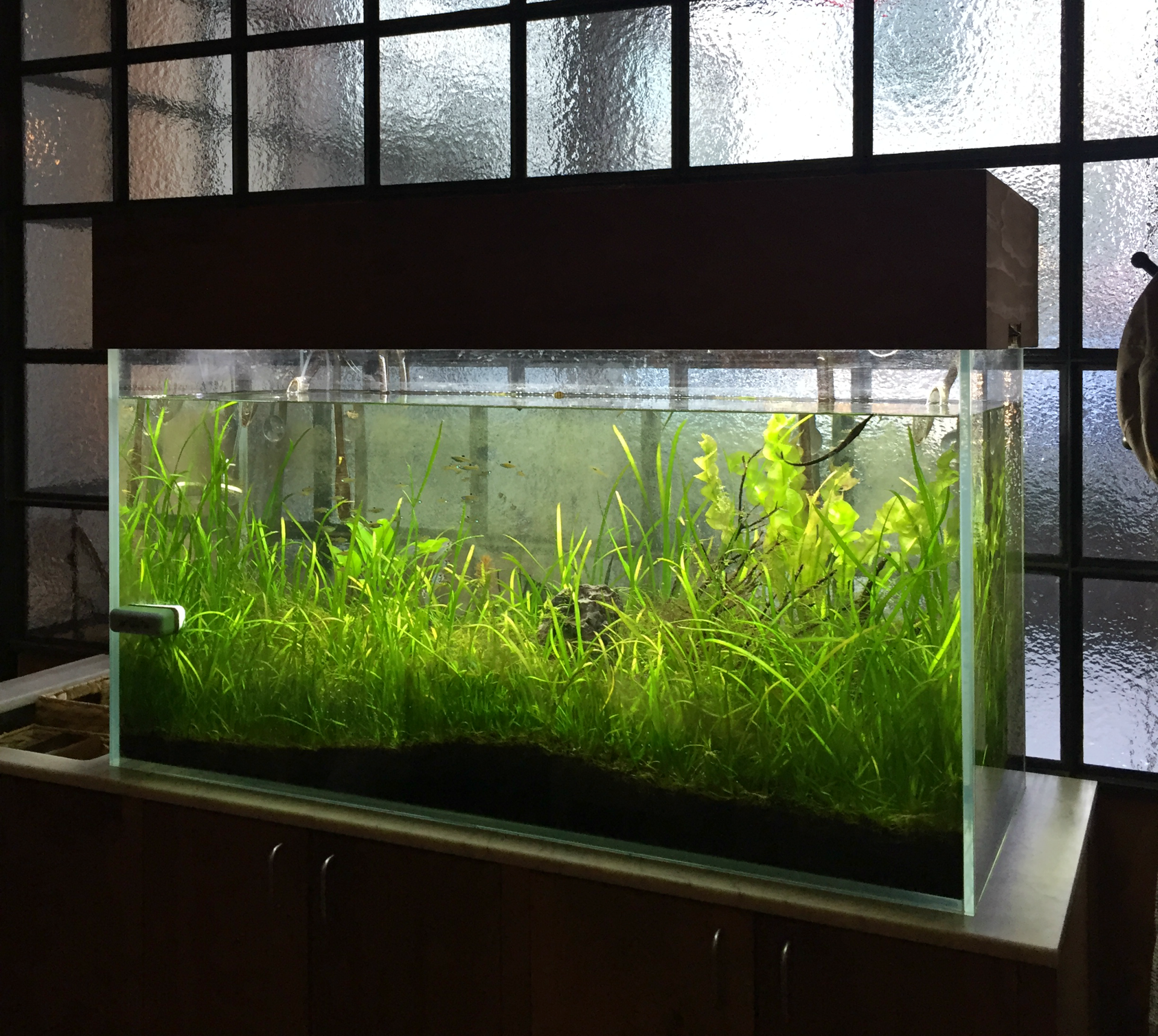 The Perennial has a small fish tank in the restaurant to demonstrate the aquaponic system they use to grow their lettuce.