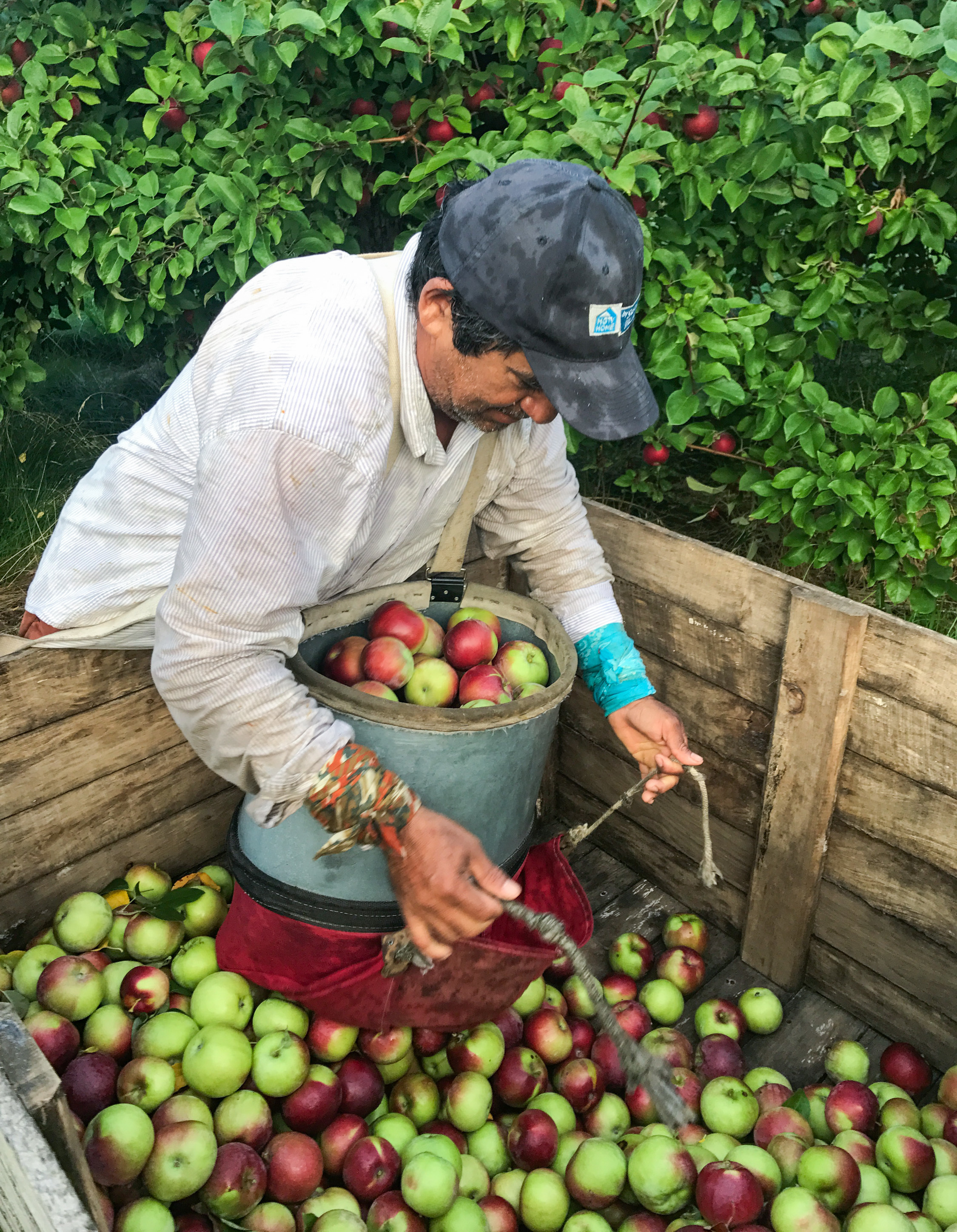Migrant worker Daniel Avellaneda unloads a bushel bag of McIntosh apples on Michigan's Old Mission Peninsula. Each bag weighs about 50 pounds per load.