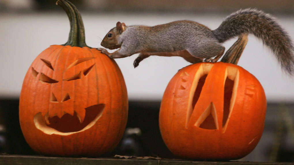A squirrel investigates Halloween jack-o'lanterns in Washington, D.C. Analysts say spending for holiday decor, candy and costumes is strong this year.