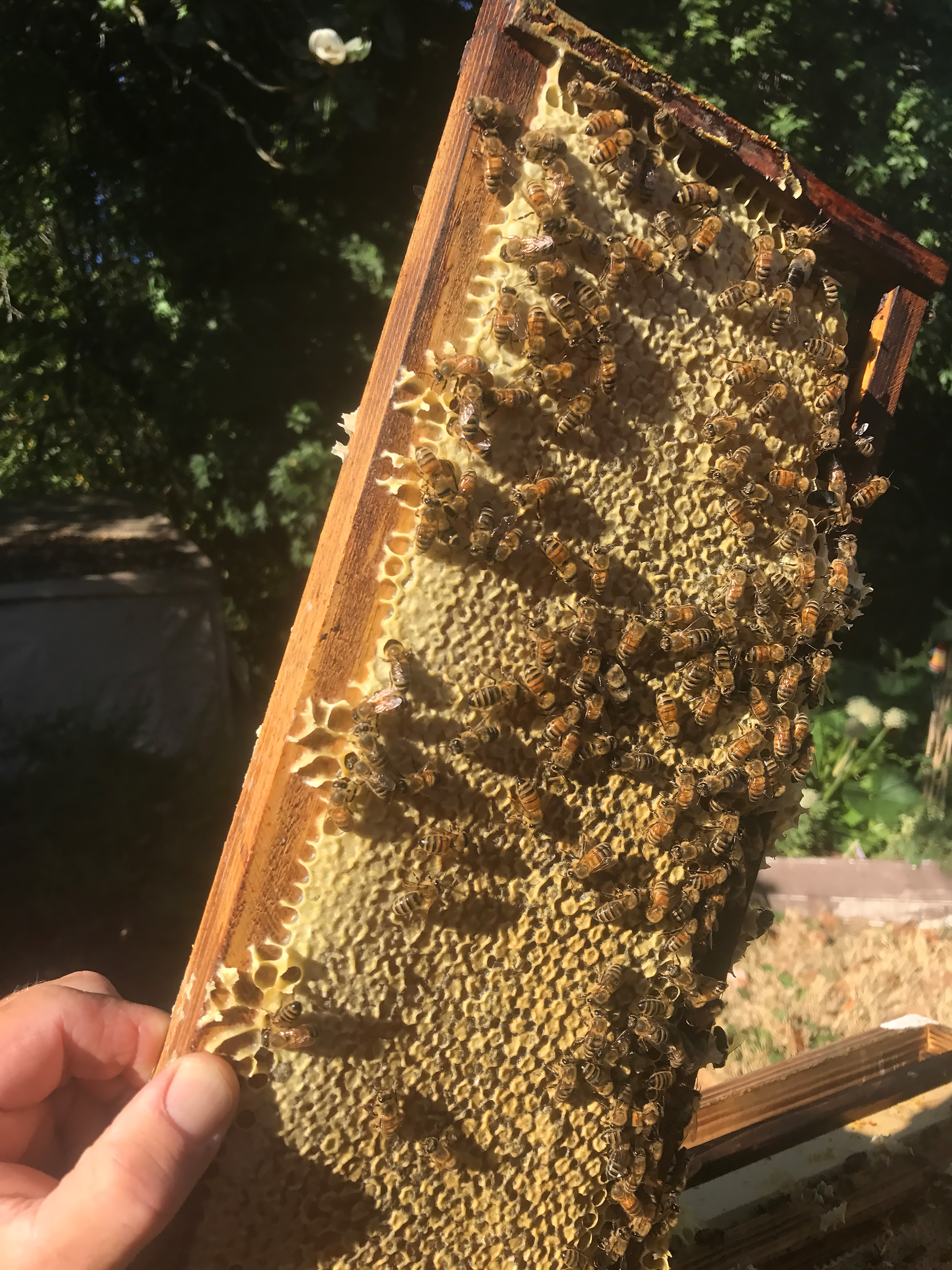Dewitt Barker pulling honeycomb for the farmer's market from Santa Rosa hives.