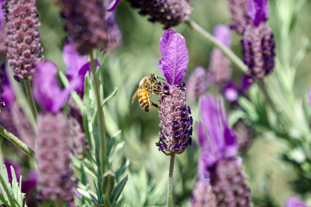 Sonoma County honeybees were hard hit by the North Bay fires.