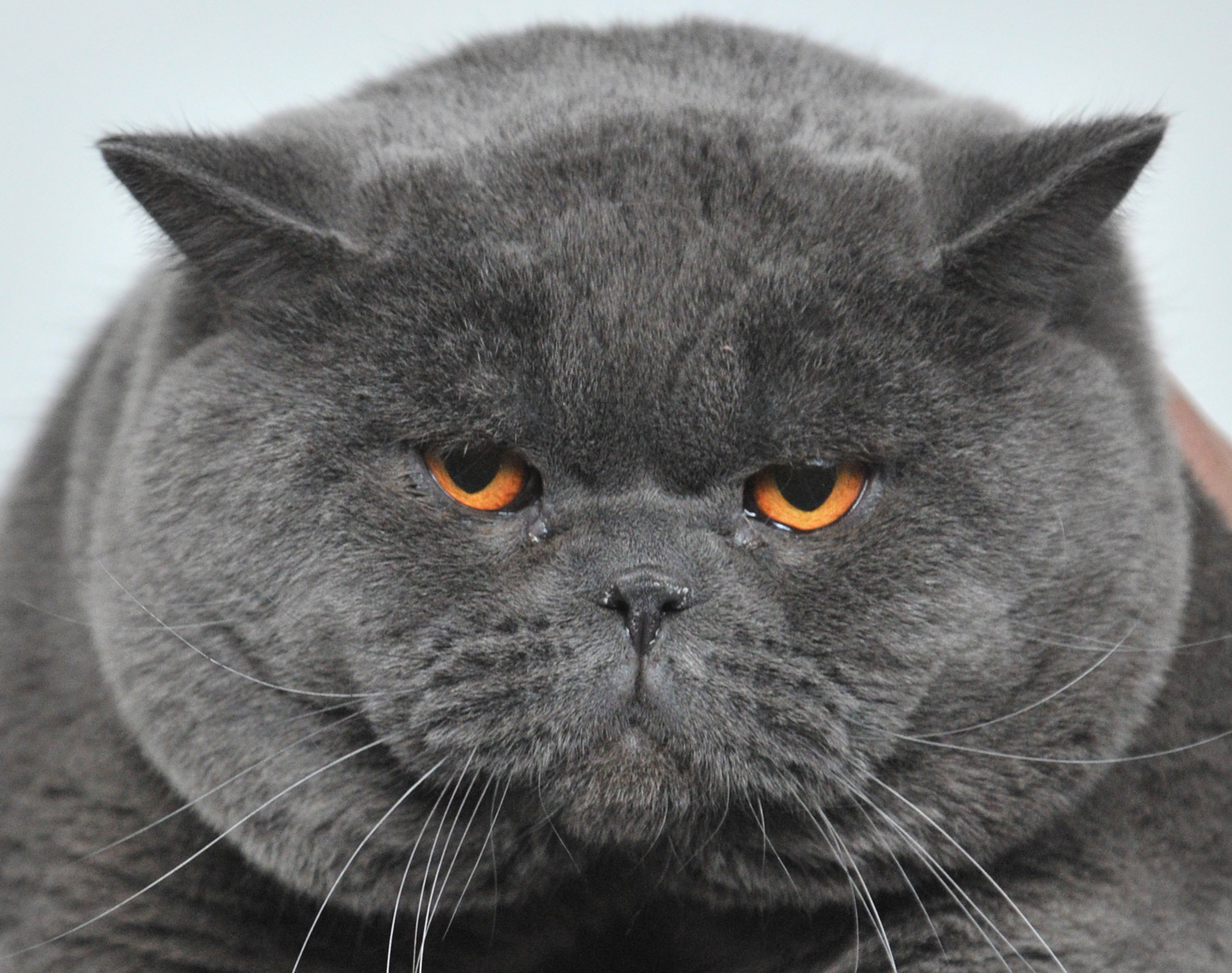 A British Shorthair cat.