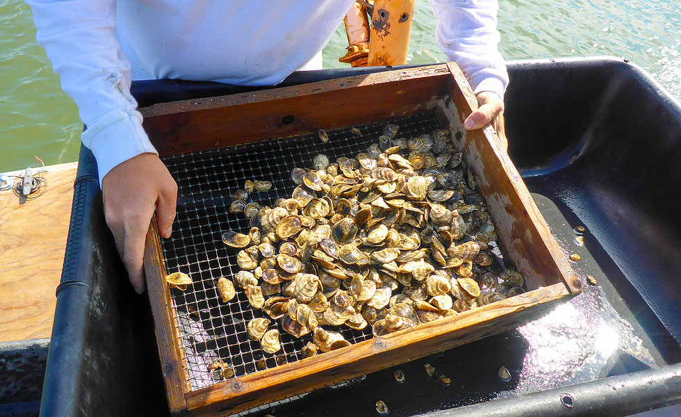 An oyster harvest with Panacea Oyster Co-op, a 2017 Fish 2.0 winner.