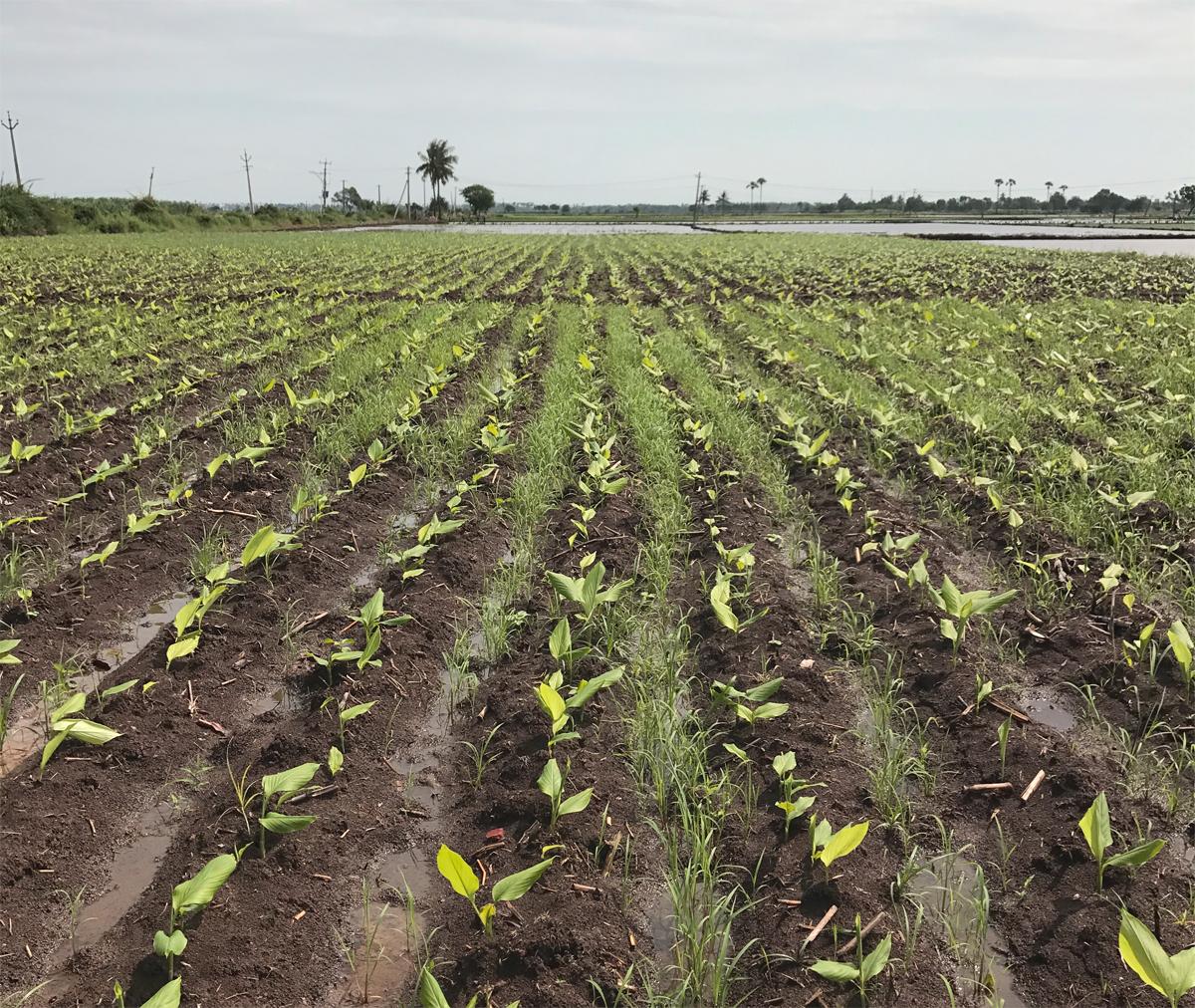 Turmeric seedlings in the field.