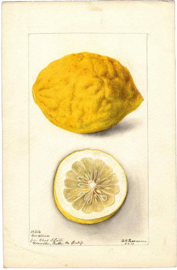 1899 Watercolor of a Corsican Lemon grown in California.