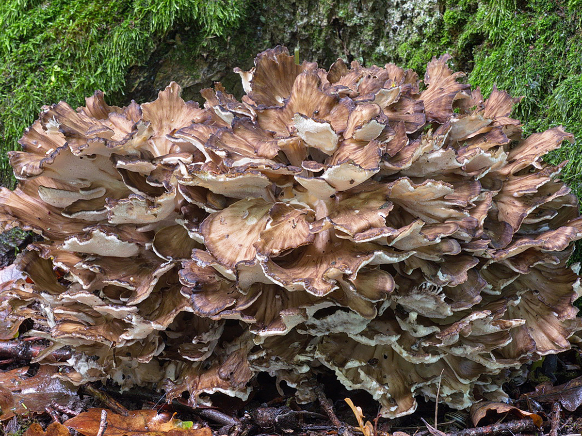 Grifola frondosa (maitake or hen-of-the-woods)