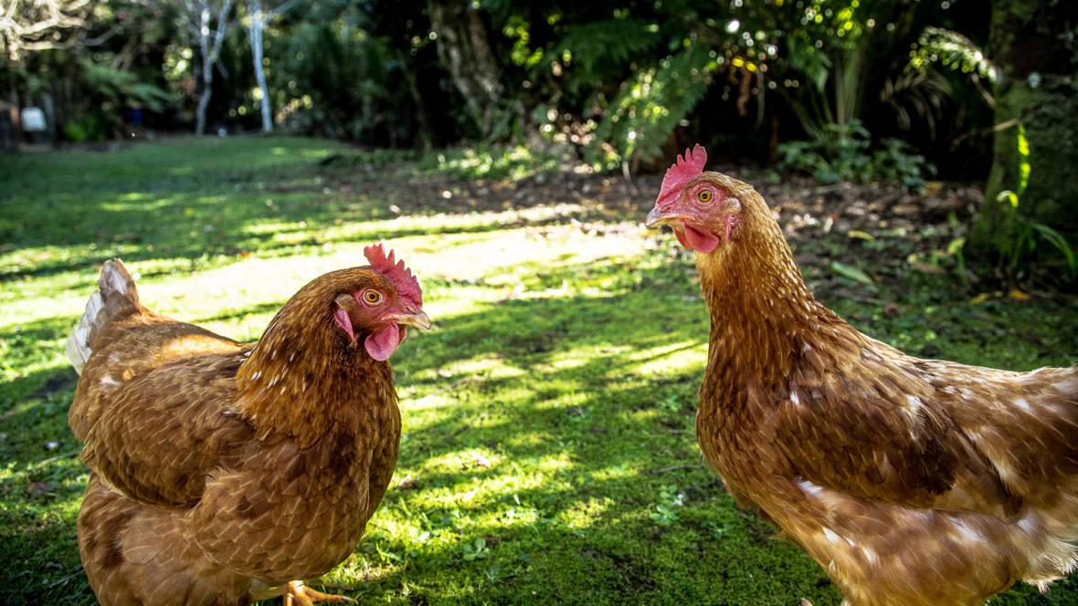 Do Backyard Chickens Need More Rules?