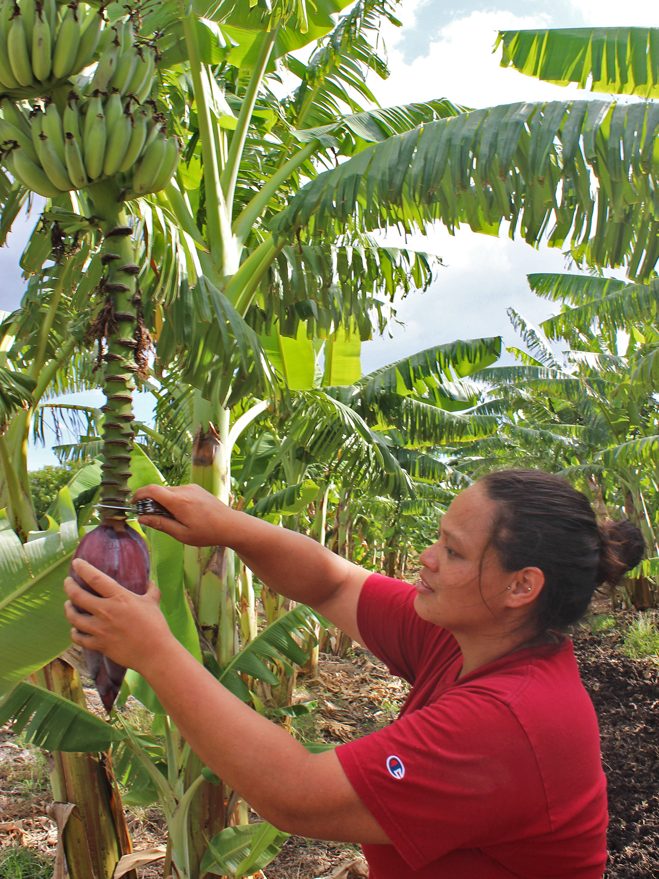Cheryse Sana, farm co-manager, cuts a banana blossom off a tree at MA'O Organic Farms.
