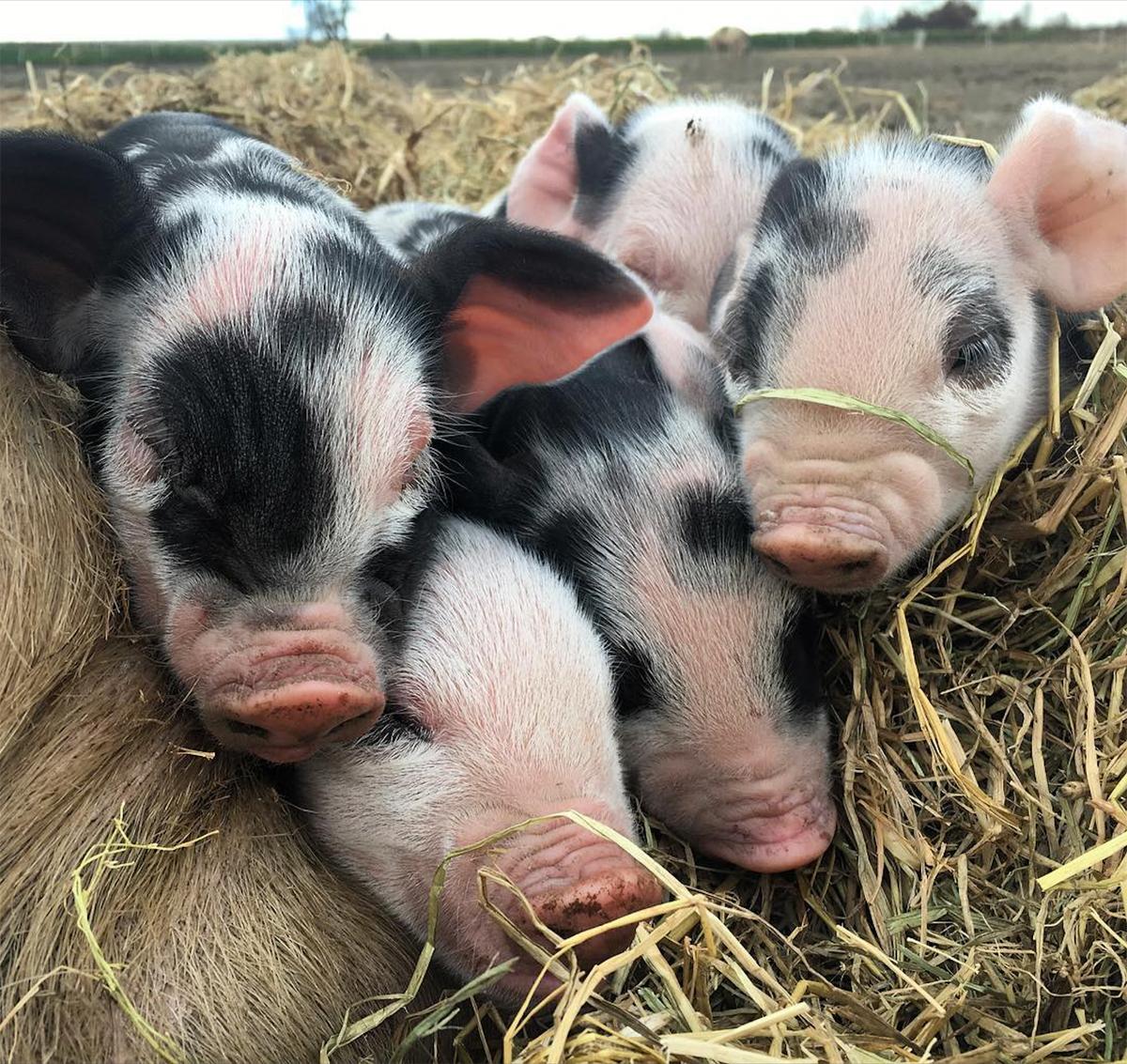 Some of Massa Organics' piglets.