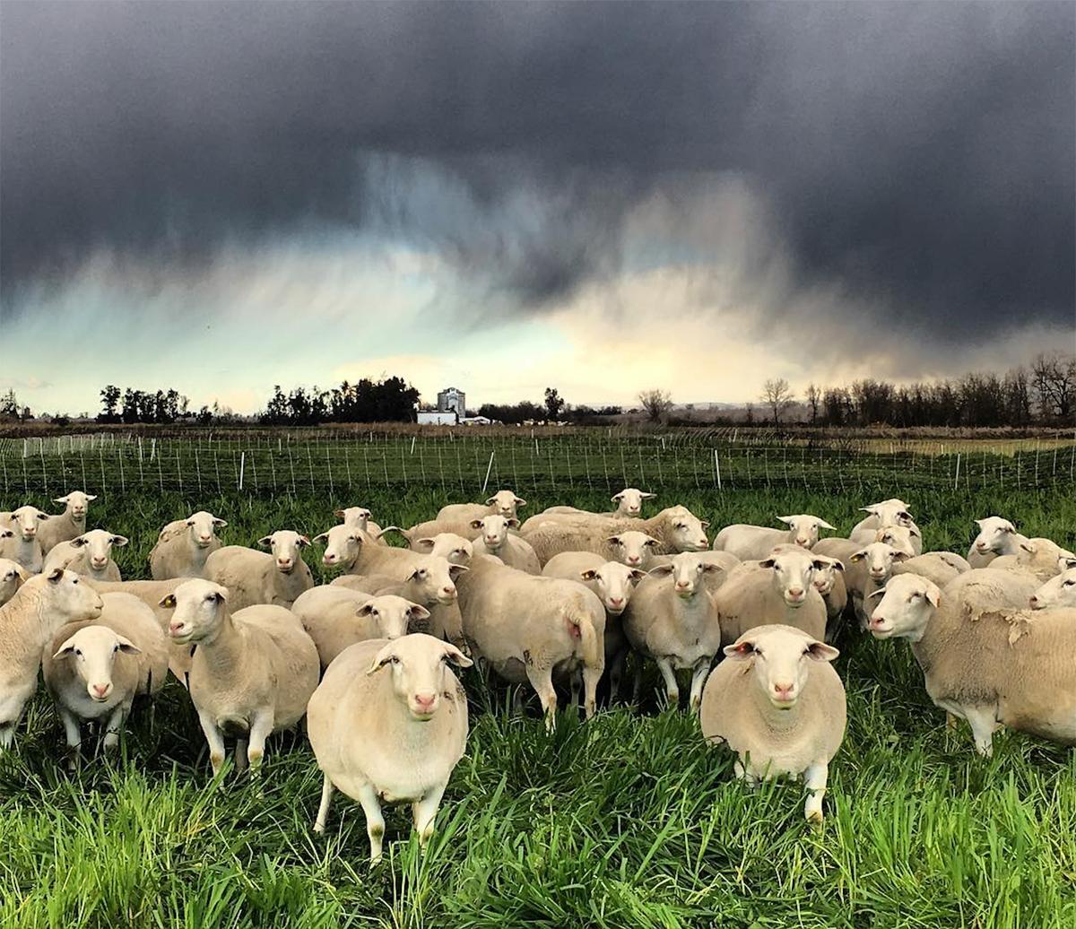 Sheep before an approaching storm.
