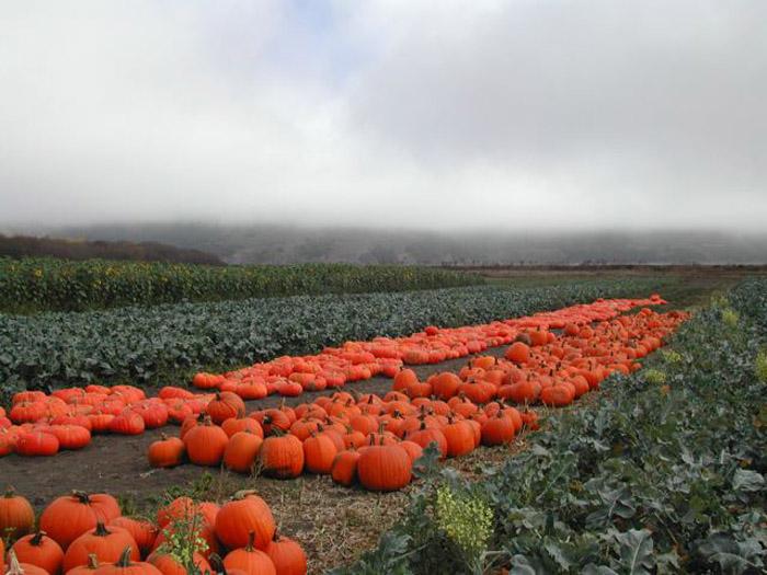 Pumpkin Harvest in Bolinas