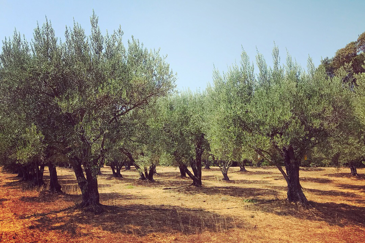 The historic olive groves at Long Meadow Ranch.