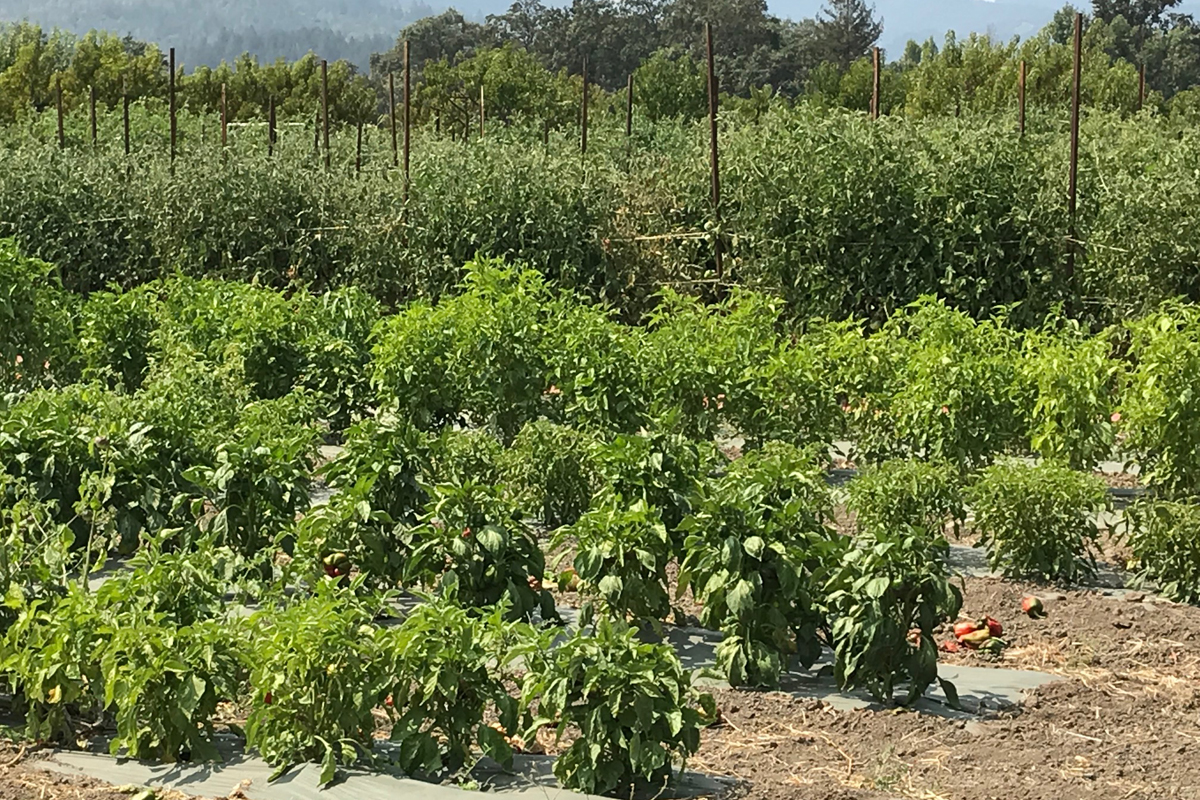 Vegetables and grapevines growing at Long Meadow Ranch.