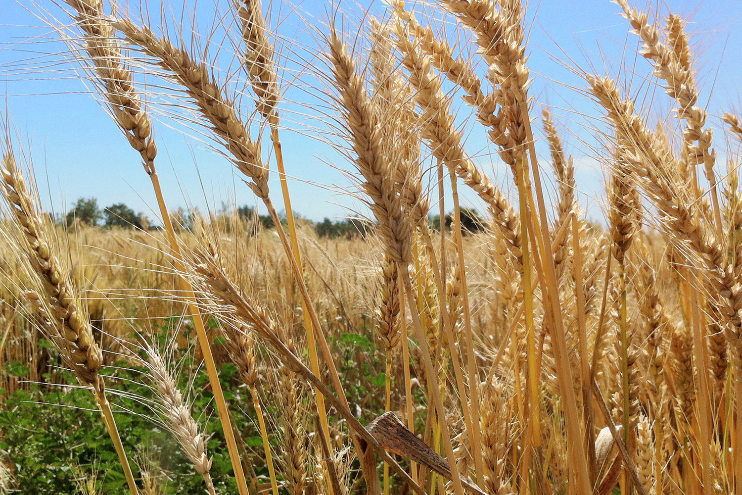 The wheat fields of Capay Mills