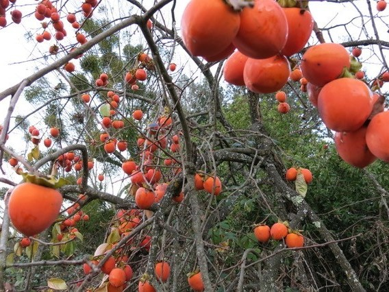 There are lots of ways to eat and prepare persimmons, but many Americans aren't sure what to do with the fruit.