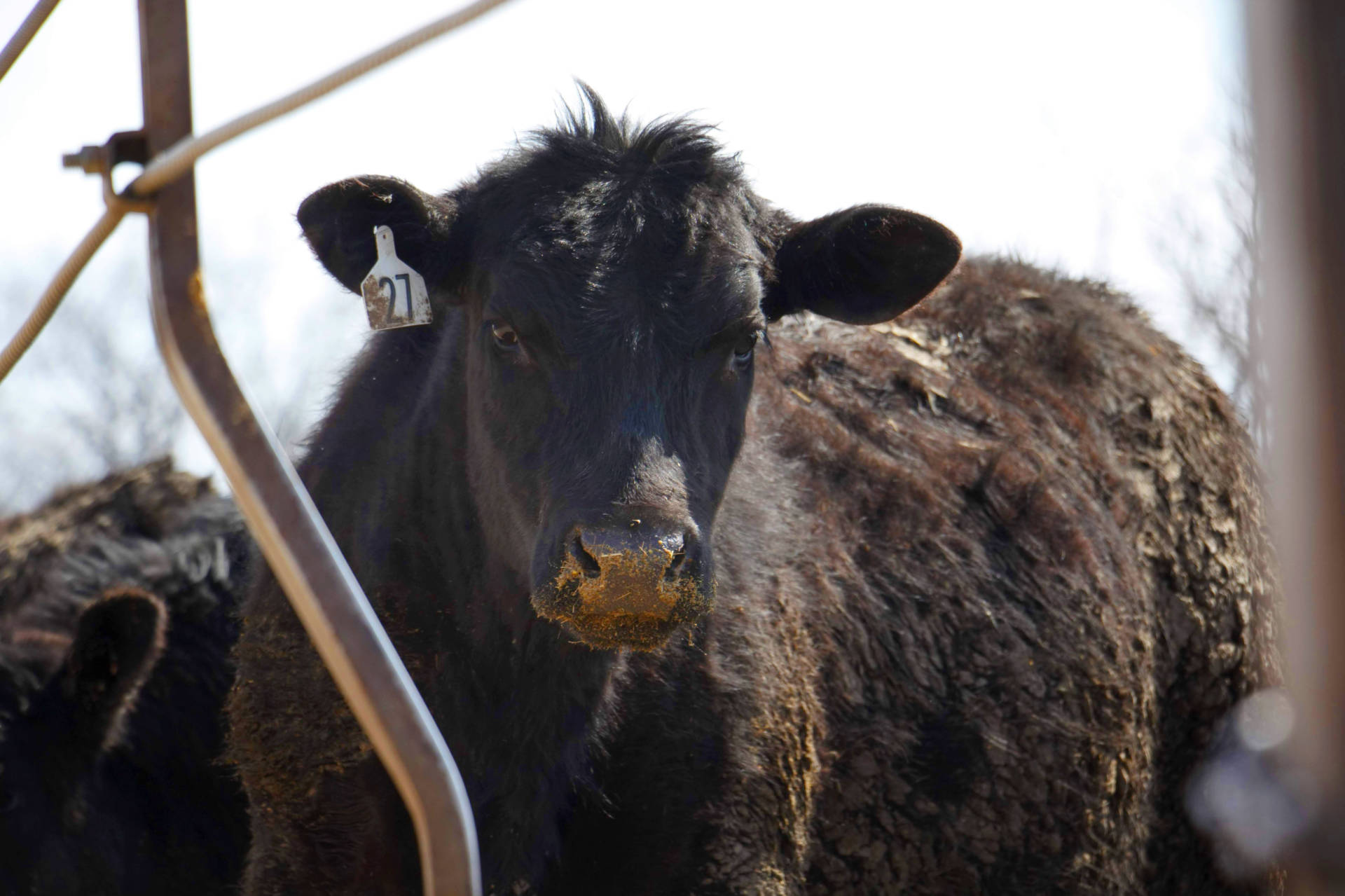 At Corrin Farms, near Neola, Iowa, the cattle aren't fed antibiotics to control liver abscesses.