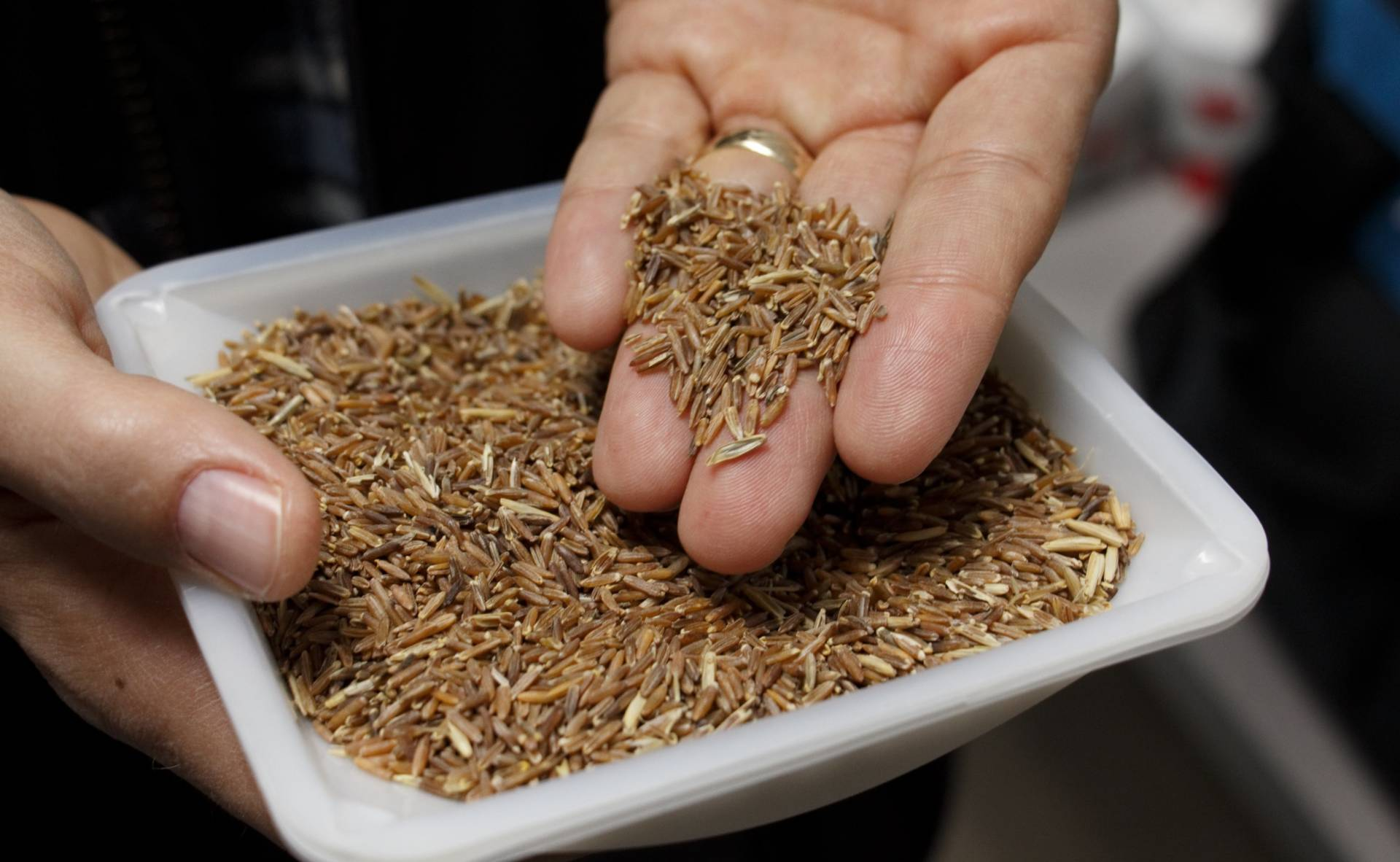 Grain from intermediate wheatgrass, or Kernza. The Land Institute is recruiting farmers to grow larger quantities of the grain for General Mills.