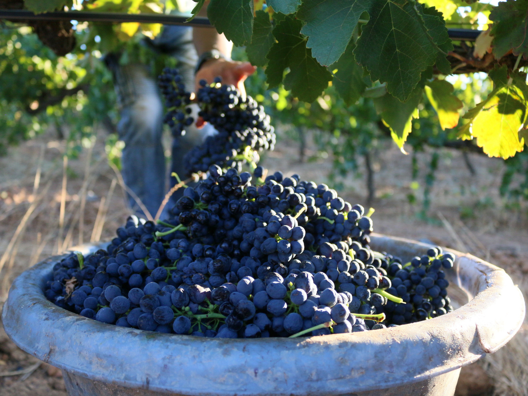 The grapes are all harvested using secateurs. Once a bucket is filled, it's poured into a truck. When the truck reaches capacity, it carries the grapes to the cellar.