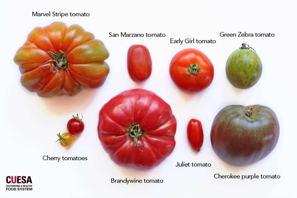From Brandywine to Green Zebra: A Farmers Market Guide to Tomatoes