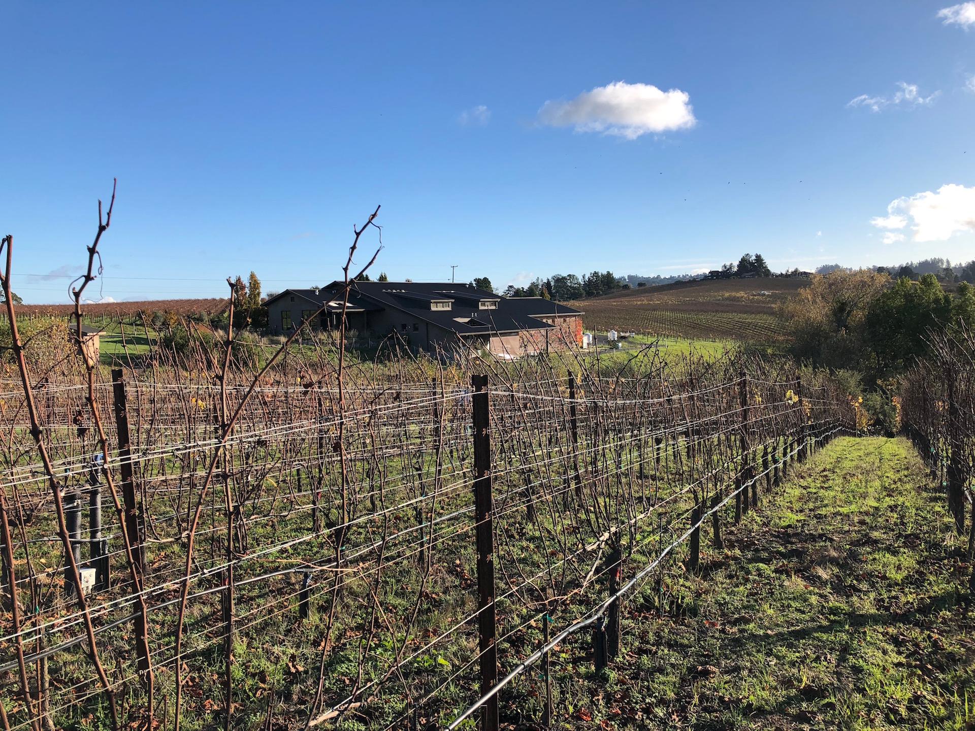 The organic estate vineyards at Littorai Wines in Sebastopol
