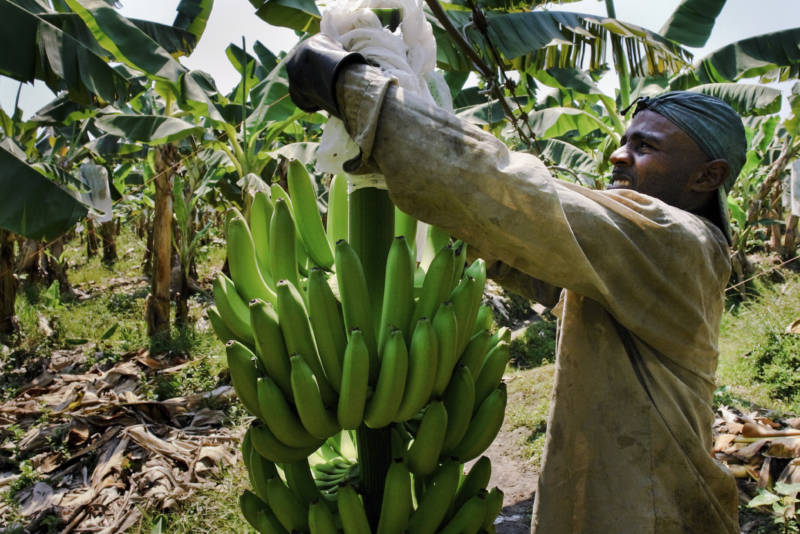 Devastating Banana Fungus Arrives In Colombia, Threatening The Fruit's Future