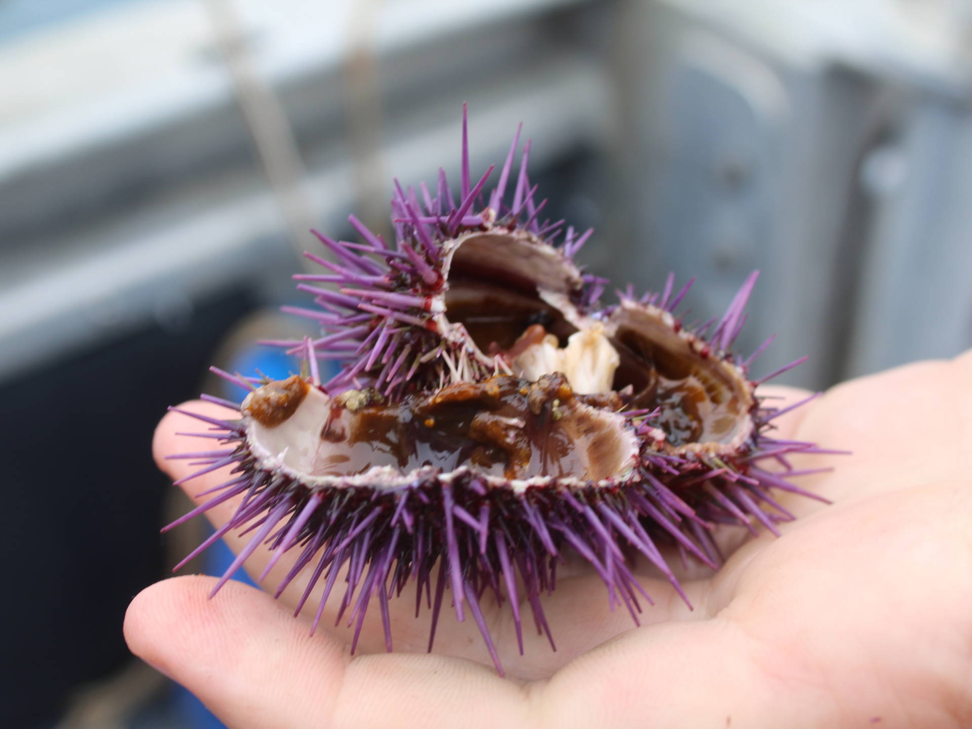 Saving California's Kelp Forest May Depend On Eating Purple Sea Urchins
