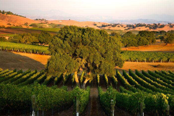 Dry farmed grape vineyards