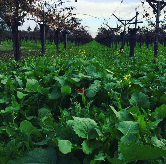 Dry-farmed grapevines with cover crops.