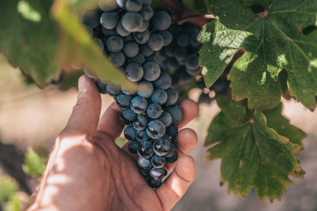 Can Dry Farming Help Save California's Vineyards?