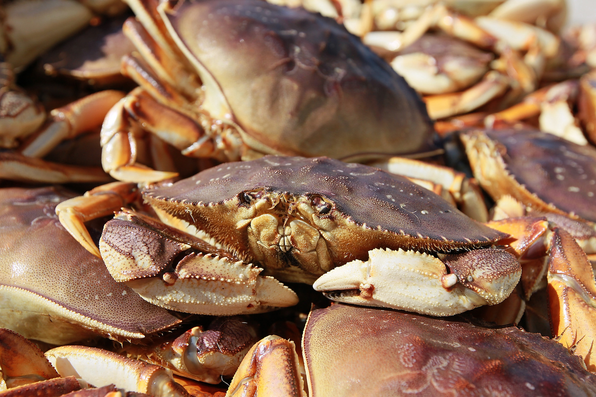 Seafood Lovers, Rejoice: Dungeness Crab Season is On