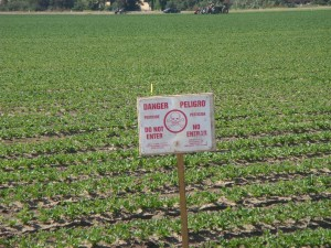 """Salinas farmers work a field despite clear """"danger"""" sign from recent pesticide application. (Photo: Patricia Carrillo)"""