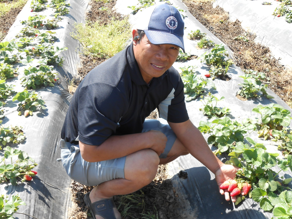 Pao Saephan's strawberries are just days away from being fully ripe. (Rebecca Plevin/Valley Public Radio)