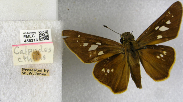 A Brazilian Skipper, one of the specimens in the Calbug project. (Image: Essig Museum of Entomology