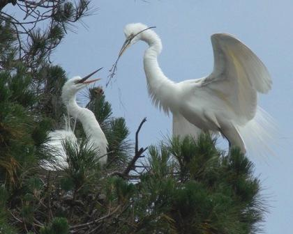 Great Egrets build their nest in the same tree. Photo by Cindy Margulis.