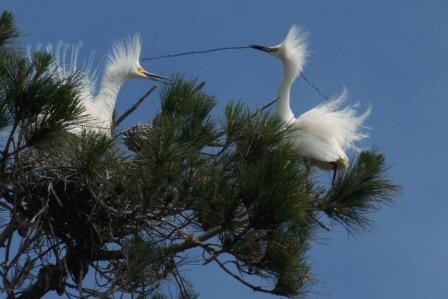 Snowy Egret pair building a nest and showing their plumes.  Photo by Cindy Margulis.
