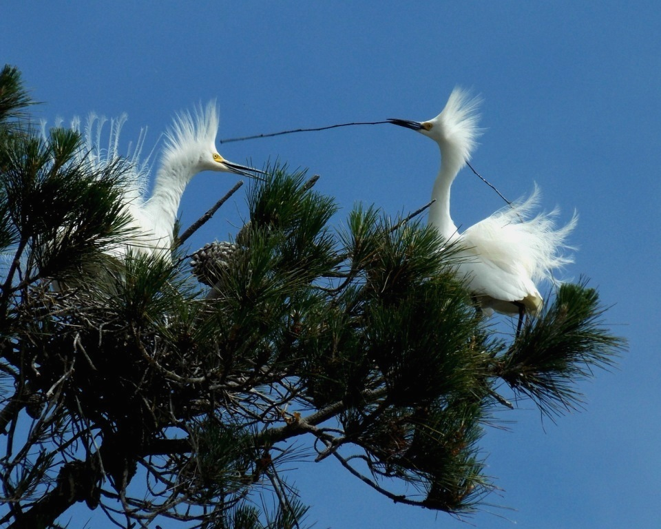 Snowy Egret pair building a nest and showing their nuptial plumes. Photo by Cindy Margulis.