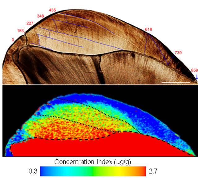 Analysis of a Neanderthal tooth, showing Barium levels. (Photo courtesy Nature)