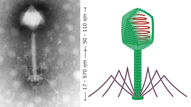 Bacterial viruses (phages) like these may form a shield that protects us from the bacteria living in our gut.  Image on left is a scanning electron micrograph of one of these phages and the image on the left is a diagram of a similar phage.