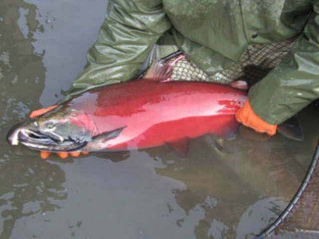 A coho salmon in its spawning stage. (US Fish and Wildlife Service)