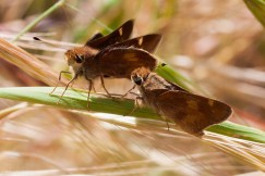 umber skippers, Ken-ichi Ueda, creative commons