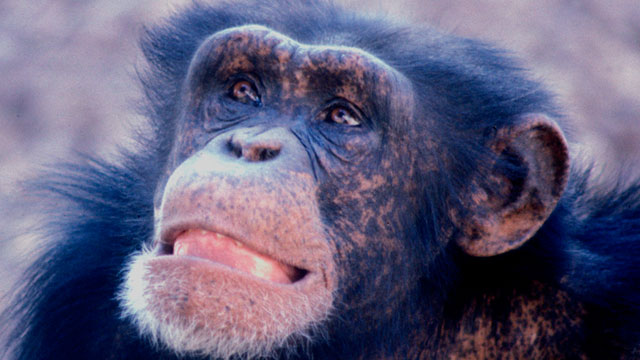Young male chimp (Credit: Frans de Waal/Emory University)