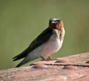Cliff swallows, like this one in Palo Alto, often nest in cities on buildings and bridges. (K Schneider/Flickr)
