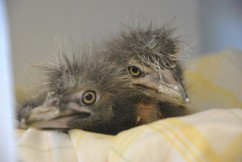 Black-crowned Night Heron chicks, snug in their nest at IBR.  Photo by Kylie Clatterbuck.
