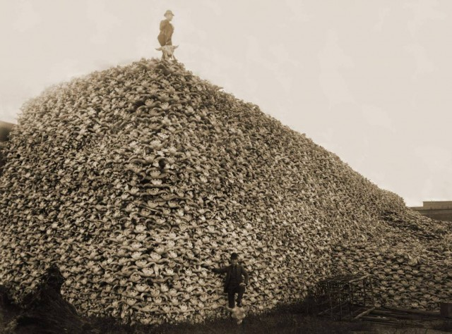 Pile of American bison skulls waiting to be ground for fertilizer, circa 1870. (Burton Historical Collection/Detroit Public Library/Public domain)