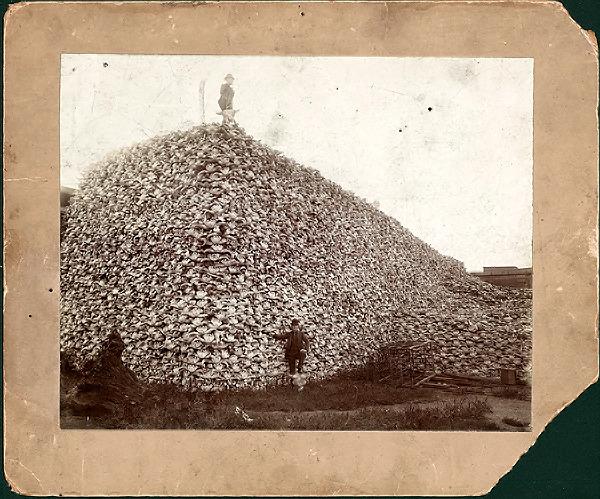 Buffalo_skulls