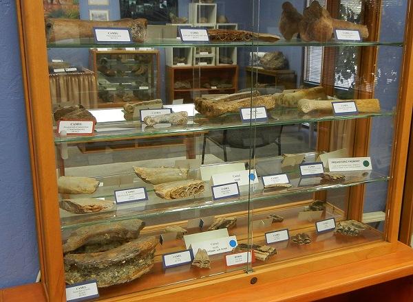 Fremont camel fossils